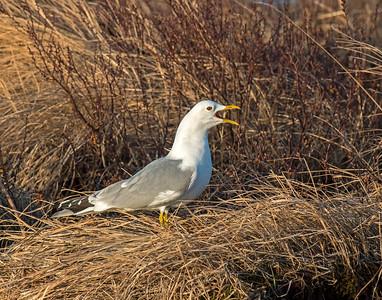 Mew Gull, Potters Marsh, AK