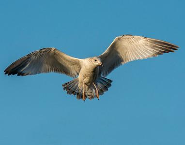 Ring Billed Gull, White Rock Lake, TX
