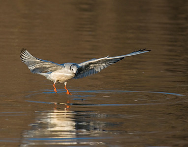 Gull (??), White Rock Lake, TX