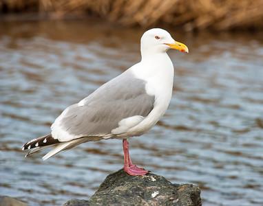Herring Gull, Potters Marsh, AK