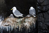 Kittiwakes' nests