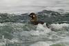 Harlequin duck (female) in the turbulent stream