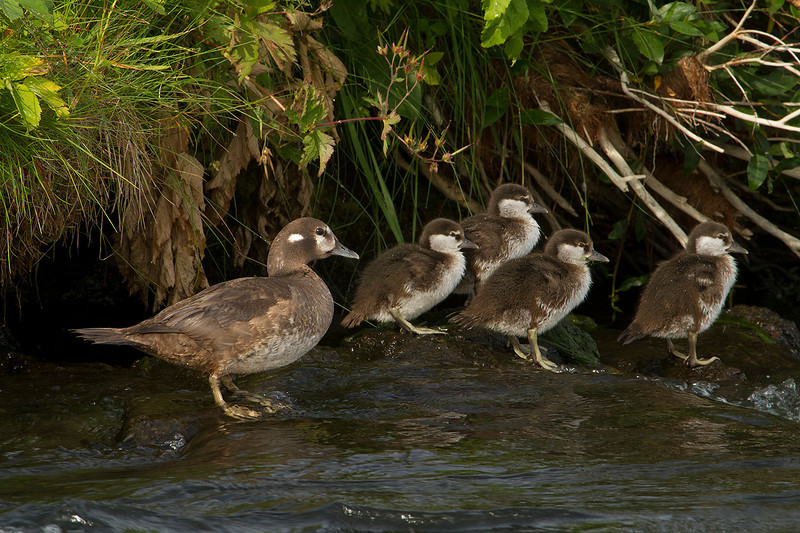 Harlequin Duck female and chicks in mid August
