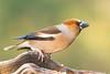Picogordo (Hawfinch)