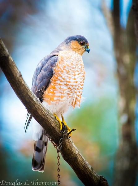 20131213-Backyard Wildlife Birds D800e-0007