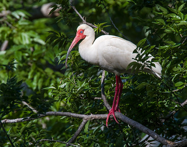 White Ibis, UTSWMC Rookery, Dallas, TX