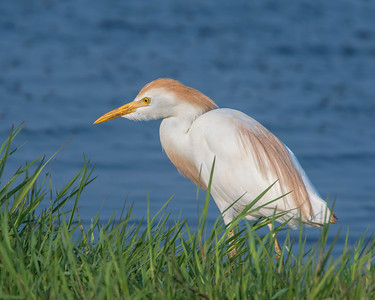 Cattle Egret, Hackberry Flats Wildlife Management Area, OK