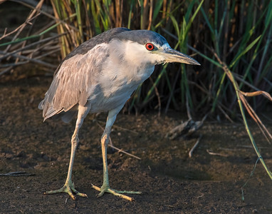 Black Crowned Night Heron, Hackberry Flats Wildlife Management Area, OK