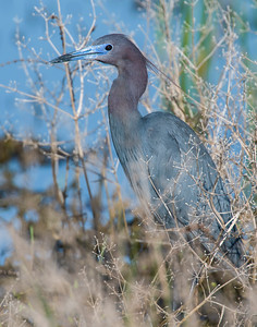 Little Blue Heron, Hackberry Flats Wildlife Management Area, OK