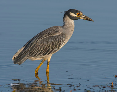 Yellow-crowned Night Heron, Hackberry Flats Wildlife Management Area, OK