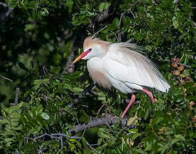 Cattle Egret, UTSWMC Rookery, Dallas, TX