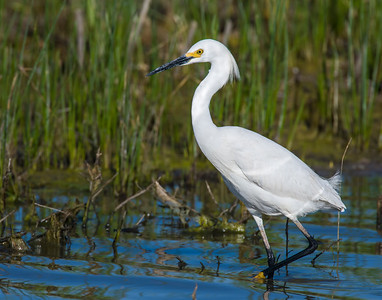 Snowy Egret, Hackberry Flats Wildlife Management Area, OK