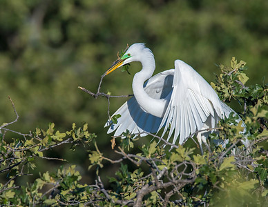 Great White Egret, UTSWMC Rookery, Dallas, TX