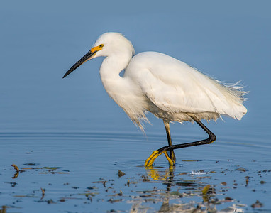 Snowy Egret Flycatcher, Hackberry Flats Wildlife Management Area, OK