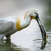 Spoonbill with Fish