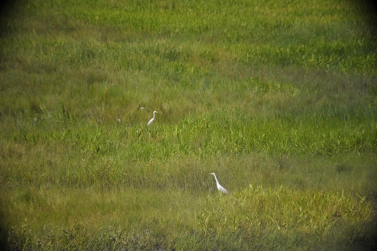 Egretta intermedia. Fogg Dam Conservation Reserve, NT, Australia. February 2011