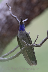 Blue-Throated Mountain Gem