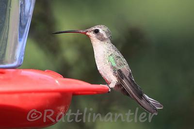 Broad-Billed Hummingbird ♀