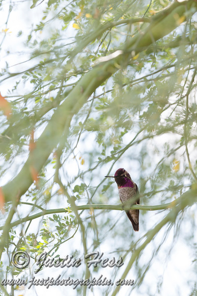 Watchful Hummingbird