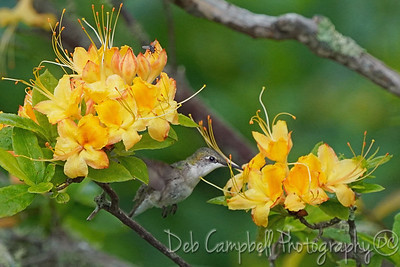 Hummingbird on Flame Azalea