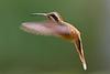 cf Phaethornis longuemareus