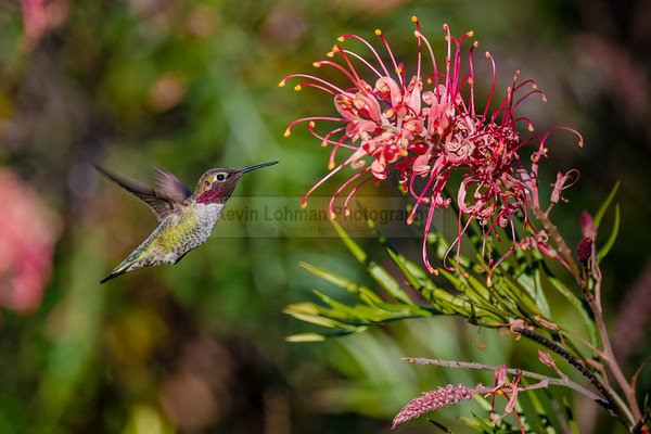 Hummingbird feeding
