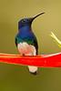 Jacobino nuquiblanco (Florisuga mellivora)
