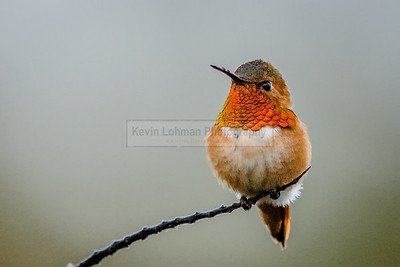 Allen's Hummingbird Resting on a Branch