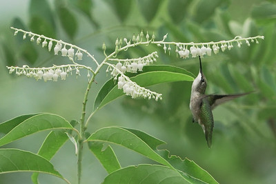 Ruby Throated Hummingbird on Sourwood blooms