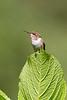 Chispita volcanera o Colibrí mosca, hembra. (Selasphorus flammula).