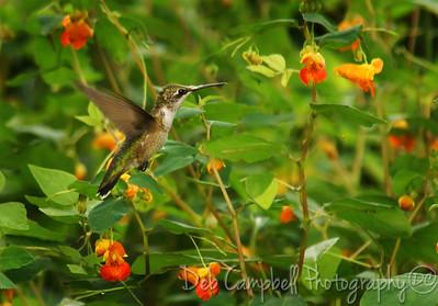 Hummingbird on Jewelweed Cades Cove Great Smoky Mountains
