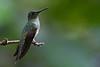 Hembra de Jacobino nuquiblanco (Florisuga mellivora)