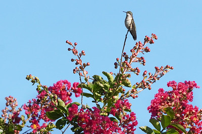 Hummingbird on Crepe Myrtle