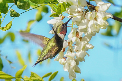 Ruby Throated Hummingbird on Black Locust Blooms