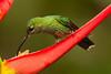 Brillante coroniverde (Heliodoxa jacula)