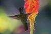 cf Heliodoxa jacula (macho)