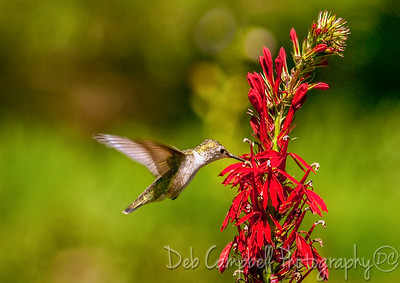 Hummingbird on Cardinal Flower Cades Cove Great Smoky Mountains