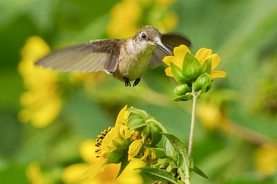 Hummingbird on Woodland Sunflower