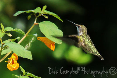 Ruby Throated Hummingbird on Jewelweed