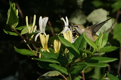 Hummingbirds on Honeysuckle