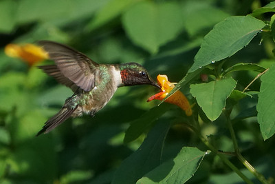 Ruby-Throated Hummingbird in Jewelweed
