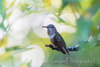 Rufous Hummingbird (immature male)