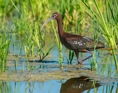 White-faced Ibis, Hackberry Flats Wildlife Management Area, OK
