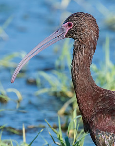 White-faced Ibis, Hackberry Flats Wildlife Management Area, OK