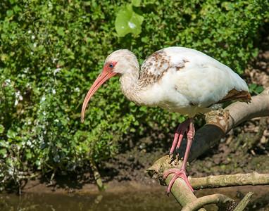 White Ibis, High Island, TX