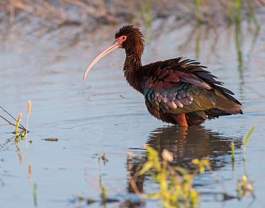 Ibis, Hackberry Flats Wildlife Management Area, OK
