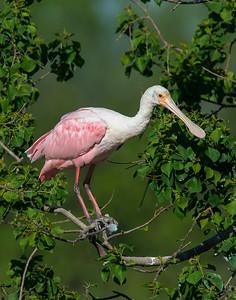 Roseate Spoonbill, High Island, TX