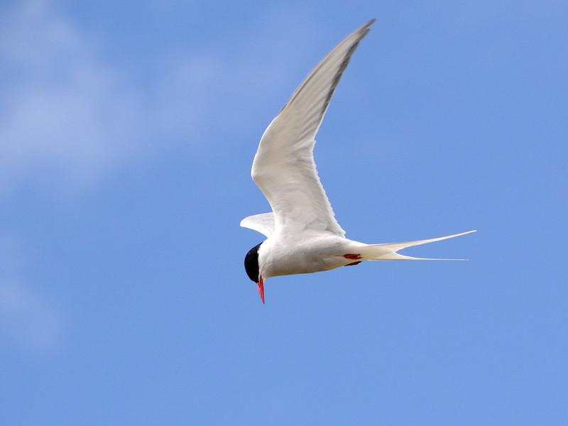 Arctic tern, Iceland 2010