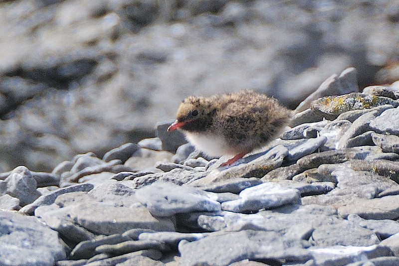 Arctic tern chick, Iceland 2010