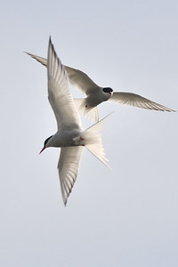 Arctic terns, Iceland 2010